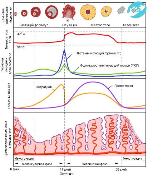 Фазы менструального цикла при расчете овуляции