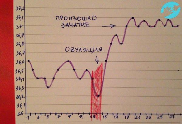 При оплодотворении график базальной температуры показывает стабильно повышенную температуру после овуляции
