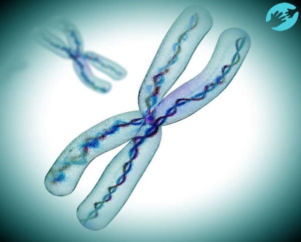 Х-хромосома участвует в зачатии девочки