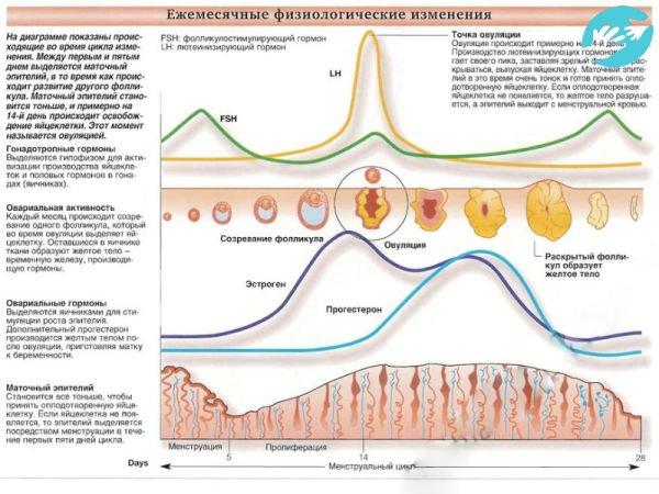 Физиологические закономерности позволяют достоверно определить дату овуляции и соответственно, предполагаемую дату зачатия по дате последних месячных
