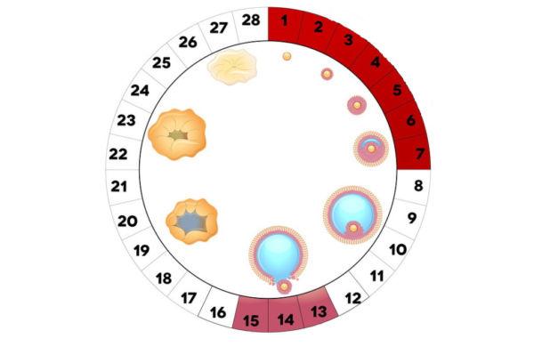 1 фаза менструационного цикла сколько дней